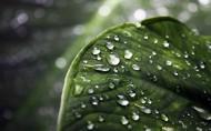翠绿的荷叶和水珠图片_13张