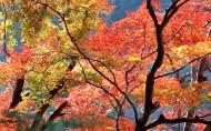 红枫叶图片_21张