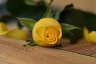 热情明亮的黄玫瑰图片_10张