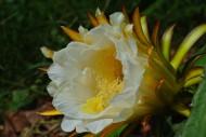 火龙果花和未成熟的火龙果图片_8张