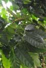 咖啡植物图片_2张