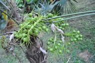 康科罗棕植物图片_3张