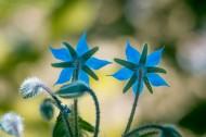 蓝紫色的琉璃苣图片_15张