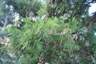 陆均松植物图片_2张