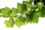 绿色树枝图片_33张