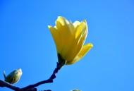 黄色玉兰花图片_8张
