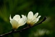 白色和粉色的玉兰花图片_15张