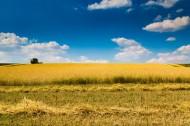 蓝色天空下金黄色的麦田图片_6张