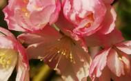 垂丝海棠花卉图片_14张