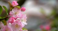 娇俏的海棠花图片_9张