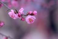 红色梅花图片_12张