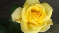 美丽的黄玫瑰图片_10张