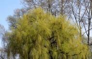 美丽的柳树图片_12张