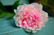 美丽的牡丹花图片_10张