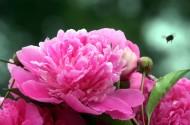 颜色艳丽的牡丹花图片_15张