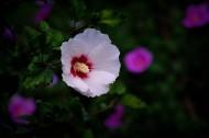 白色木槿花图片_12张