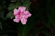 粉色木槿花图片_10张