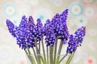 漂亮的紫色葡萄风信子图片_15张