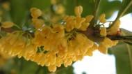 桂花花卉图片_33张