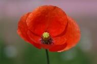 美艳红色罂粟花图片_18张