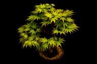 盆景植物图片_8张