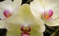 蝴蝶兰花卉图片_12张