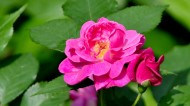 蔷薇花图片_8张