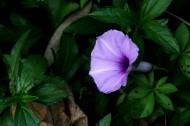 紫色牵牛花图片_17张