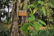 琴木植物图片_4张