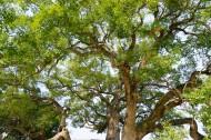 绿色大伞一样的大榕树图片_10张