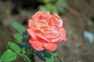 玫瑰花卉图片_11张