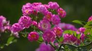 粉色蔷薇花图片_7张