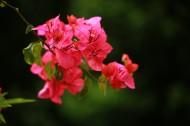 红色三角梅花卉图片_6张