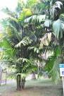 三药槟榔植物图片_2张