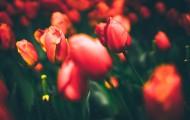 色彩斑斓的郁金香花丛图片_18张