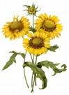 国外大师手绘黄色花朵图片_15张