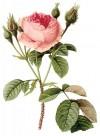 手绘玫瑰图片_22张