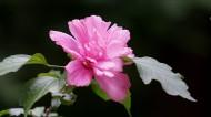 木槿花图片_10张