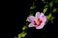 木槿花图片_12张