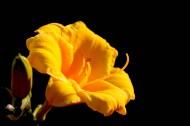 黄色丝瓜花图片_16张