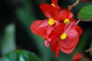 四季海棠花卉图片_6张