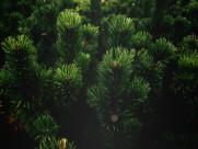 松树的枝头图片_13张