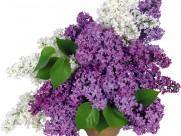 紫色丁香花图片_14张