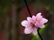单瓣桃花图片_11张