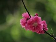 娇艳的桃花图片_15张