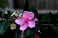 紫色桃金娘图片_12张