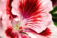 各种颜色的天竺葵图片_22张