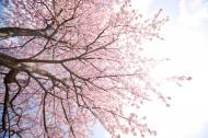 唯美的樱花景色图片_8张