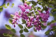 紫色香花槐图片_9张