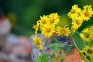 黄色小野菊图片_8张